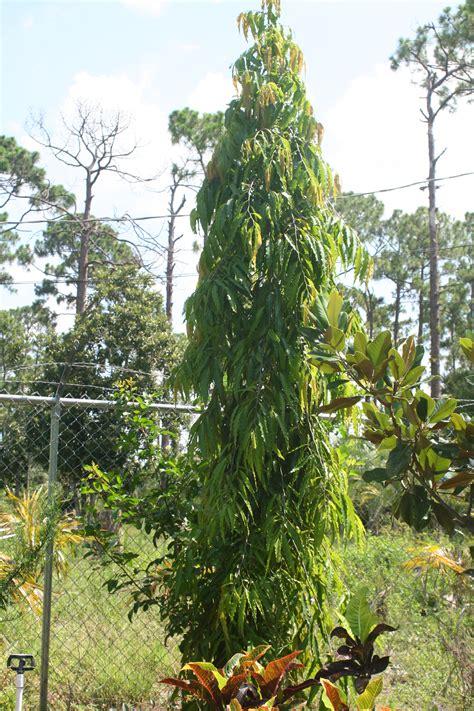 False Ashoka Tree For Sale