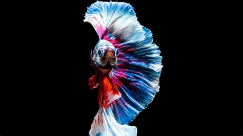 15 Fighting Facts About Siamese Fighting Fish Mental Floss