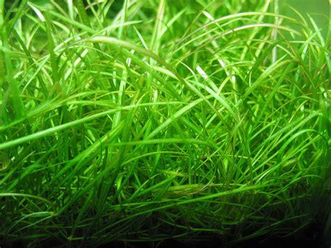 5 of the Best Carpet Plants for Freshwater Custom