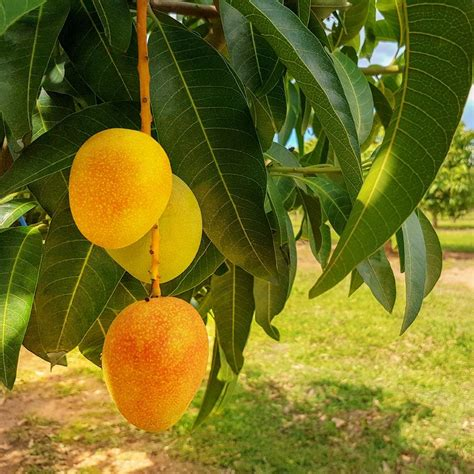 Alphonso Mango Tree for Sale Fast Growing Trees