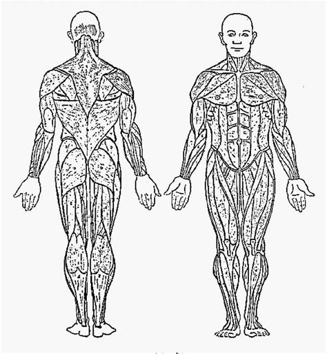 Anatomy Muscle Coloring Pages For Kids Human Anatomy Body