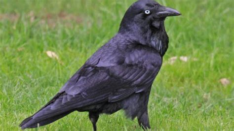 Ancient tales of Perth s fascinating birds