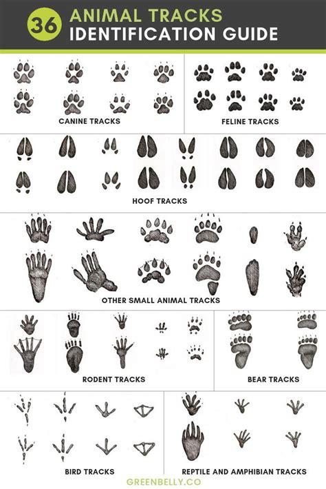 Animal Tracks Identification Animal Footprints Pictures