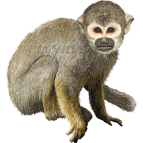 Animal clipart free graphics Squirrel images monkey