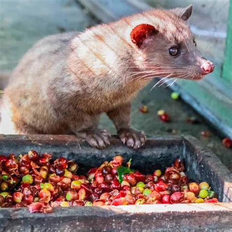 Animalcoffee authentic wild collected kopi luwak from