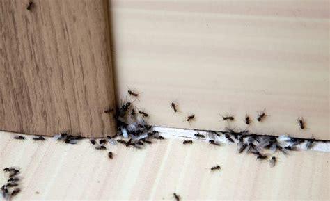Ant Infestation Where Do Ants Hide in the House PestWorld