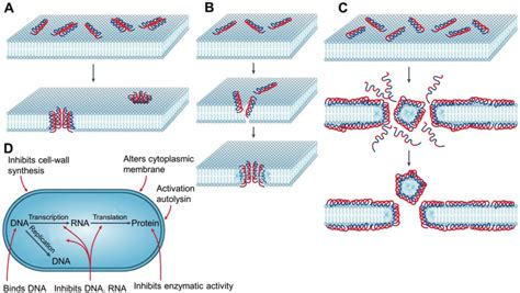 Antimicrobial peptides pore formers or metabolic