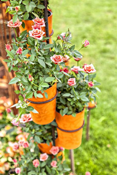 Are You Ready for Roses Growing Roses Rose Care
