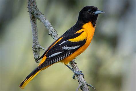 Baltimore Oriole All birds