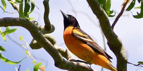 Baltimore Oriole National Wildlife Federation