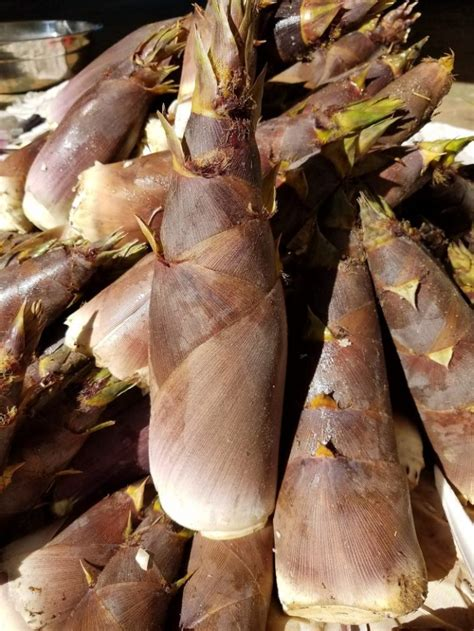 Bamboo plants for sale at our specialty nursery in