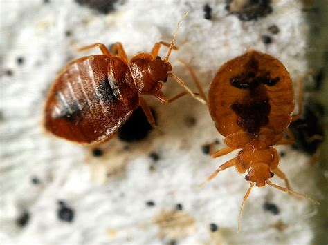 Basic Information on Bed Bugs