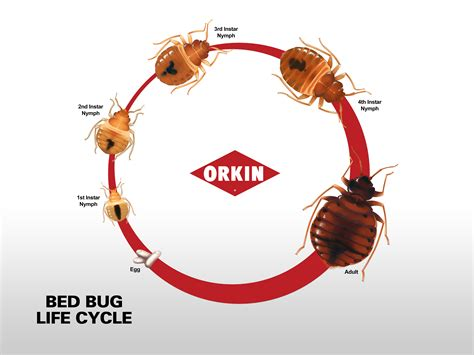 Bed Bug Life Cycle Bed Bugs Bed Bug Bites Pictures