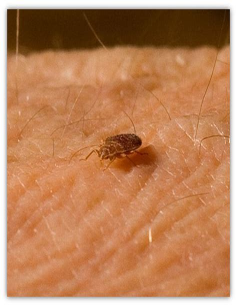 Bed bug fact sheet King County