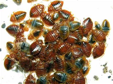 Bedbugs Picture Image on MedicineNet
