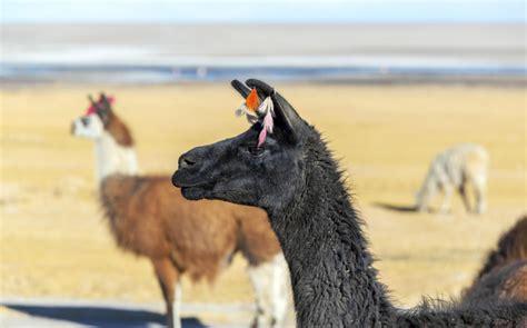 Best of Argentina Chile Atacama Desert Llama Travel