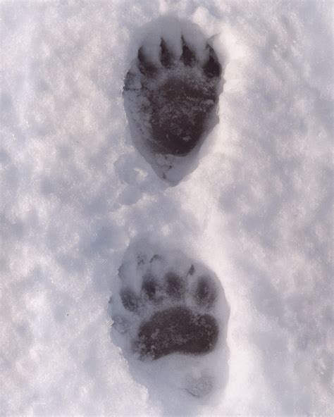 Black Bear Art and Black Bear Prints at FulcrumGallery