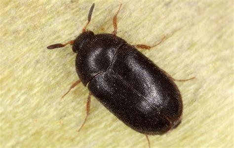 Black Carpet Beetles Identification carpet beetle picture