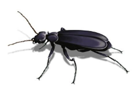 Blister Beetle Facts Identification and Control Orkin