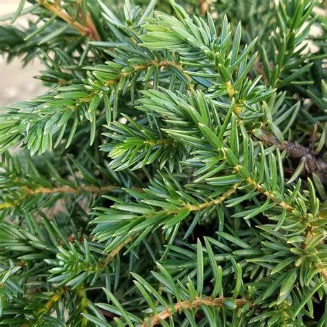 Blue Pacific Juniper Evergreen Nursery