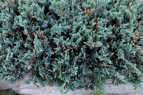 Blue Rug Juniper Growing them propagating them and using