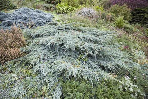 Blue Rug Juniper Plants Growing Tips and Care Guide