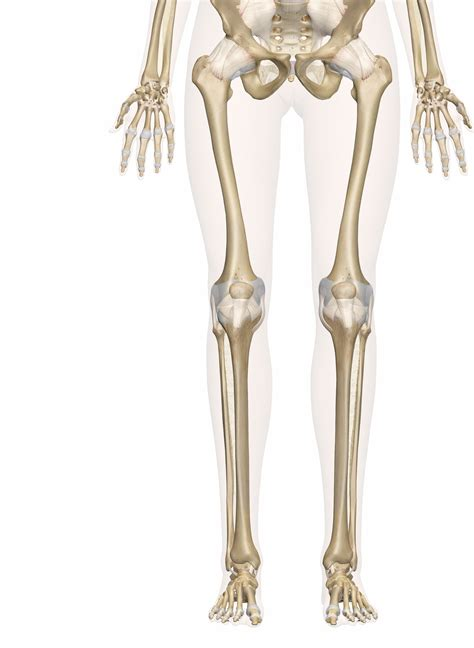 Bones of the Leg and Foot Interactive Anatomy Guide