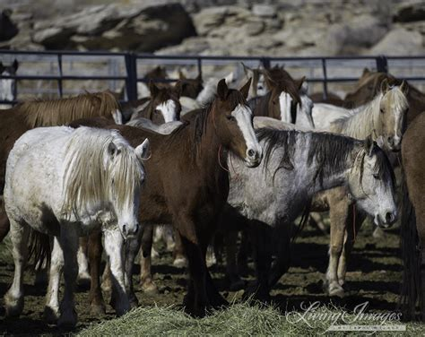 Breaking News BLM s Wild Horse Advisory Board Just Voted