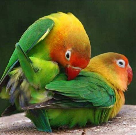 Breeding Lovebirds Parrot Parrot