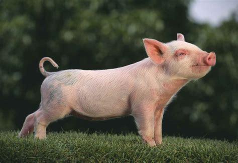 Breeds Of Pigs Little Pig Farm