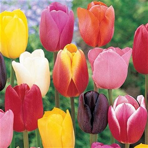 Buy Dutch Tulip Bulbs Online Brecks
