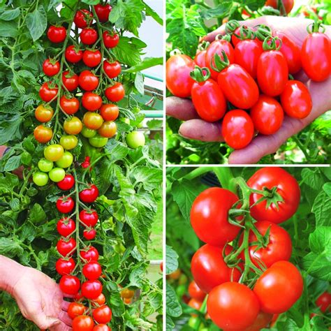Buy Grafted Vegetable Plants from Suttons
