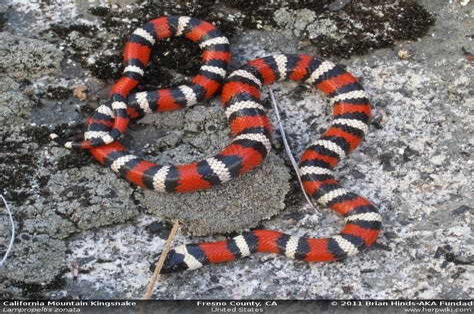 California Mountain Kingsnake Lampropeltis zonata
