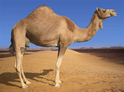 Camel Pictures and Facts fohn