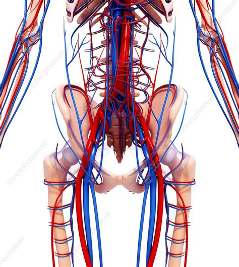 Cardiovascular System Human Heart Circulatory System