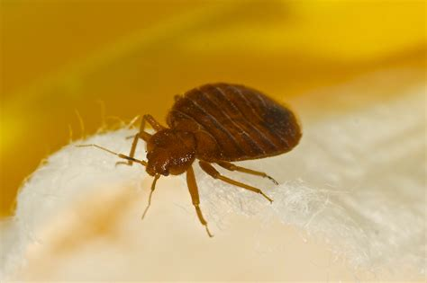 Carpet Beetle Extermination Pest Control of Bed Bugs