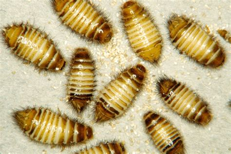 Carpet Beetles Their Control The Bug Clinic