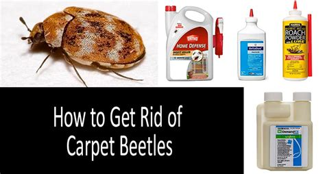 Carpet Beetles Treatment Control How to Get Rid of