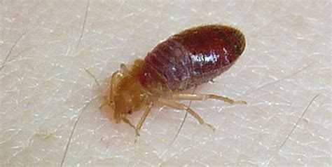 Carpet Beetles Vs Bed Bugs What Has Caused Those Little
