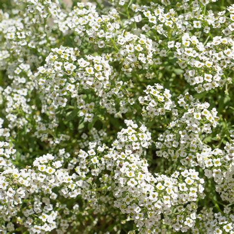 Carpet Of Snow Alyssum Seeds and Plants Annual Flower
