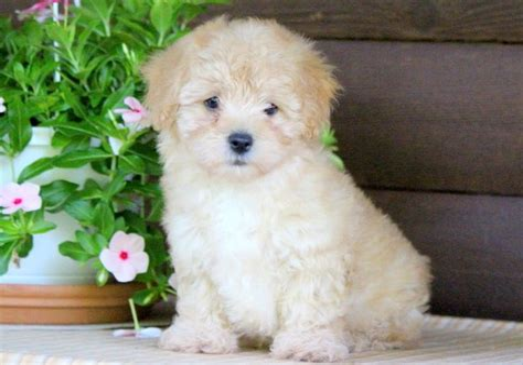 Cheerio s HavaPoo Puppies Sunny Day Puppies