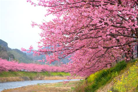 Cherry Blossoms Photos Cherry Trees Wallpaper Download