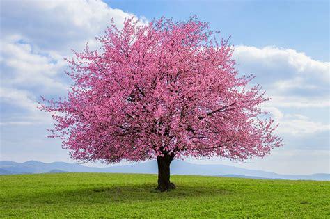 Cherry Trees Tree Pictures