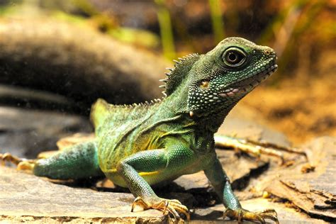 Chinese water dragons Frogs Snakes and Pollywogs
