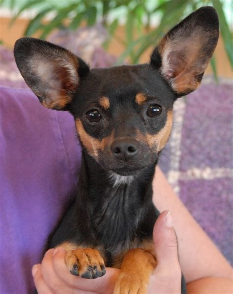Chipin Dog Miniature Pinscher Chihuahua Mix Info
