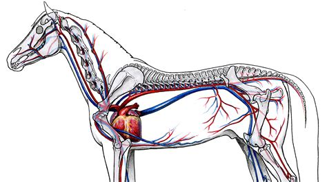Circulatory system of the horse Wikipedia