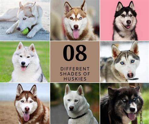 Colors of the Siberian Husky Color Genetics ISHC
