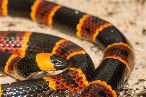 Coral Snakes coral snake pictures Pestproducts