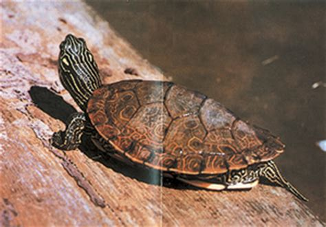 DNR Common Map Turtle Graptemys geographica