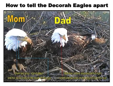 Decorah Eagles How to Tell Difference between Mom and